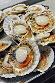 FRESH SCALLOPS IN THE SHELL Paul Dodds / Scottish Viewpoint shellfish,food,fresh,seafood,produce,product