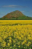 North Berwick Law, East Lothian Jack Byers/ Scottish Viewpoint summer,sunny,agriculture,arable,field,fields,crop,crops,farm,farms,farming,countryside,yellow,hill,hills,no people