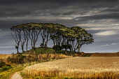 stand of trees on a mound in Aberdeenshire. Bill McKenzie  / Scottish Viewpo no people,agriculture,arable,field,fields,crop,crops,farm,farms,farming,countryside,wheat,summer,sunny,atmospheric,atmosphere,tree,trees,wood,woodland,woods,forests,forest