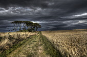 The view along a farm track by a field to a copse, with dramatic skies, Aberdeenshire. Bill McKenzie / Scottish Viewpoi 2013,summer,atmospheric,HDR,agriculture,arable,field,fields,farm,farms,farming,countryside,crop,crops,tree,trees,wood,woodland