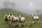 A flock of sheep in a surreal landscape - composite image. Bill McKenzie / Scottish Viewpoi 2013,summer,atmospheric,HDR,agriculture,field,fields,farm,farms,farming,countryside,tree,trees,weather,mist,misty,livestock,animal,animals,graze,grazing