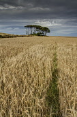 The view over a field to a copse, with dramatic skies, Aberdeenshire. Bill McKenzie / Scottish Viewpoi 2013,summer,atmospheric,HDR,agriculture,arable,field,fields,farm,farms,farming,countryside,crop,crops,tree,trees,wood,woodland