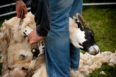 A demonstration of sheep shearing at the Lochaber Agricultural Show, Fort William, Highlands of Scotland. Kenny Ferguson / Scottish Viewpo agriculture,livestock,animal,animals,people,person,farm,farming,fleece,wool,shear