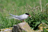 An Arctic Tern (sterna paradisaea) perched on a rock with a sand eel in its beak, Dumfries and Galloway. Keith Kirk / Scottish Viewpoint summer,sunny,fauna,detail,wildlife,wild,bird,birds,sea,seabird,terns