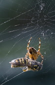A garden spider (araneus diadematus) on its web with captured prey, Cairngorms National Park, Highlands of Scotland. Mark Hicken / Scottish Viewpoint summer,fauna,detail,close,up,wildlife,insect,insects,wasp,trapped,trap,caught,cnpa,cnp,arachnids,arachnid,feed,feeding,spiders