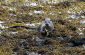 An otter (lutra lutra) feeding on the shoreline of the Ardnamurchan peninsula, Highlands of Scotland. Mark Hicken / Scottish Viewpoint summer,otters,feed,seaweed,kelp,fauna,wildlife,wild,animal,animals,cute,shore,coast,coastal,water,sea,mammal,mammals