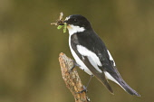 A Pied Flycatcher perched on a branch with insect in beak, Dumfries and Galloway. Keith Kirk / Scottish Viewpoint wildlife,wild,bird,birds,beak,ring,ringed,summer,flycatchers