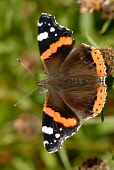 Red Admiral butterfly, Dumfries and Galloway. Keith Kirk / Scottish Viewpoint butterfly,butterflies,insect,insects,summer,sunny,sunshine