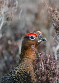 A male red grouse (lagopus lagopus) on moorland, Cairngorms National Park, Highlands of Scotland. Mark Hicken / Scottish Viewpoint winter,fauna,detail,close,up,wildlife,wild,bird,birds,cnpa,cnp,heather,game,moor