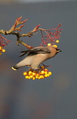 A waxwing (bombycilla garrulus) perched on berries, Dumfries and Galloway. Keith Kirk / Scottish Viewpoint wildlife,wild,bird,birds,beak,autumn,sunny,sunshine,berry,branch,tree,wax,wing,wings,waxwings
