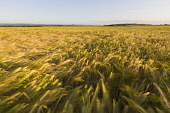 Field of barley blowing in the wind near Seacliff, East Lothian. Andy Bennetts / Scottish Viewpoi 2010,summer,sunny,Blur,blurry,Wind,Motion,Movement,Horizontal,Outdoors,Rural,Scene,Landscape,agriculture,arable,field,fields,crop,crops,farm,farms,farming,countryside