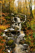 Lowran Burn cascades through woodland near Loch Ken, Dumfries and Galloway. Keith Kirk / Scottish Viewpoint autumn,autumnal,leaves,tree,trees,wood,woodland,woods,forests,forest,waterfall,stream,water,fall,falls