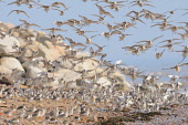 A flock of Knot (calidris canuta) taking flight from the foreshore of a beach, Dumfries and Galloway. Keith Kirk / Scottish Viewpoint summer,fauna,wildlife,wild,bird,birds,coast,coastal,beach,wader,waders