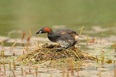 A Little Grebe (tachybaptus ruficollis) sometimes called a Dabchick on marshland, Dumfries and Galloway. Keith Kirk / Scottish Viewpoint summer,fauna,wildlife,wild,bird,birds,wetland,wetlands,marsh,water