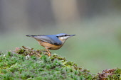 A Nuthatch (sitta europaea) on a moss, Dumfries and Galloway. Keith Kirk / Scottish Viewpoint winter,fauna,wildlife,wild,bird
