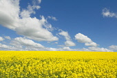 Oilseed rape growing in a field, Dumfries and Galloway. Keith Kirk / Scottish Viewpoint summer,sunny,sunshine,agriculture,arable,field,fields,crop,crops,farm,farms,farming,countryside,yellow,blue,sky,cloud,clouds