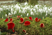 Snowdrops (galanthus nivalis) in woodland with Scarlet Elf (sarcoscypha coccinea) growing in the foreground, Dumfries and Galloway. Keith Kirk / Scottish Viewpoint winter,spring,flora,flower,flowers,plant,plants,wild,fungus,cap,cup