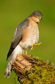 A male Sparrowhawk (accipiter nisus) perched on a tree stump, Dumfries and Galloway. Keith Kirk / Scottish Viewpoint autumn,fauna,wildlife,wild,bird,prey,raptor