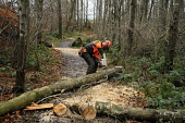 A forestry worker cutting up storm damaged trees in woodland, Dumfries and Galloway. Keith Kirk / Scottish Viewpoint winter,weather,damage,fallen,chainsaw,chain,saw,cut,cutting,tree,trees,wood,woodland,woods,forests,forest,forestry,commission