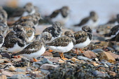 Turnstones (arenaria interpres) on the foreshore of a beach, Dumfries and Galloway. Keith Kirk / Scottish Viewpoint summer,fauna,wildlife,wild,bird,birds,coast,coastal,beach,wader,waders,turnstone