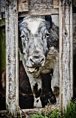 A cow looks out of hole in the side of  an old wooden shed, Highlands of Scotland. Kenny Ferguson / Scottish Viewpo summer,HDR,agriculture,livestock,animal,animals,farm,farms,farming,countryside,tongue