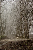A farm track through an avenue of trees near Fort William, on a frosty misty day, Highlands of Scotland. Kenny Ferguson / Scottish Viewpo winter,weather,climate,cold,fog,extreme,freezing,ice,frost,heavy,path,mist,misty,atmospheric,atmosphere,agriculture,livestock,animal,animals,graze,grazing,farm,farms,farming,countryside,sheep
