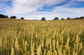 A wheat field, Dumfries and Galloway. Phil McMenemy / Scottish Viewpoi 2012,summer,scotland,grain,wheat,bucolic,agriculture,arable,field,fields,crop,crops,farm,farms,farming,countryside,dumfries,galloway