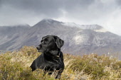 A black labrador photographed on moorland with the snow dusted mountains of Torridon behind, Highlands of Scotland. Allan Wright / Scottish Viewpoin dog,dogs,canine,pet,pets,labrador,portrait,black,mountain,mountains,torridon,serene,beautiful,scotland,roaming,mans,best,friend,highlands,highland,sleek,animal,animals,moorland,heather,snow