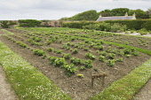 The walled garden at Balfour Castle, Shapinsay, Orkney. Picture Credit : Iain Sarjeant / Scottish Viewpoint  Tel: +44 (0) 131 622 7174  E-Mail : info@scottishviewpoint.com  Web: www.scottishviewpoint.... 2012,summer,island,islands,isle,isles,attraction,visitor,tourist,garden,grounds,vegetables,cultivate,cultivation,strawberries,soft,fruit
