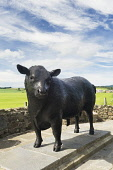 The Alford Bull statue at Alford, Aberdeenshire Iain Sarjeant / Scottish Viewpoi aberdeen,angus,sculpture,statues,sculptures,summer,sunney,2013