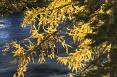 Autumn larch trees in by the River Dee, near Braemar, Aberdeenshire Iain Sarjeant / Scottish Viewpoi tree,trees,forest,forests,woodland,woodlands,forestry,autumn,autumnal,pattern,texture,water,sunny,silhouette,royal,deeside