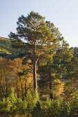 Mar Lodge Estate Woodland, near Braemar, Deeside, Aberdeenshire Iain Sarjeant / Scottish Viewpoi autumn,autumnal,2013,tree,trees,forest,forests,woodland,woodlands,forestry