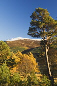 Mar Lodge Estate Woodland, near Braemar, Deeside, Aberdeenshire Iain Sarjeant / Scottish Viewpoi autumn,autumnal,2013,tree,trees,forest,forests,woodland,woodlands,forestry,snow