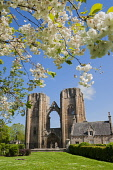 The ruined remains of Elgin Cathedral, Moray, Scotland. Dennis Barnes / Scottish Viewpoi 2014,vertical,spring,sunny,sunshine,blue,sky,day,Elgin,Cathedral,Moray,Scotland,Scottish,UK,U.K,United,Kingdom,tourist,Attraction,Tourism,Visitor,no people,nobody,flowers,flora,ruin,ruins,remains,ruin