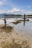 The view along the southern side of Loch Laich at low tide to Castle Stalker, Argyll, Scotland. Chris Lauder / Scottish Viewpoin 2013,vertical,summer,sunny,sunshine,coast,coastal,coastline,water,sea,loch,cloud,clouds,foreshore,blue,sky,skies,argyll,laich,castle,stalker,day,no people,nobody,seaweed,low,tide,post,wooden,Scotland,