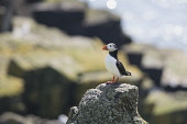 A Puffin standing on a rock on the Isle of May in the Firth of Forth, Scotland. Chris Lauder / Scottish Viewpoin 2013,horizontal,summer,sunny,sunshine,no people,Scotland,Scottish,UK,U.K,Great,Britain,bird,sea,seabird,puffin,fauna,isle,island,May,Firth,Forth,Fife