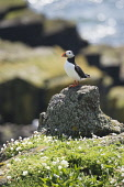 A Puffin standing on a rock on the Isle of May in the Firth of Forth, Scotland. Chris Lauder / Scottish Viewpoin 2013,vertical,summer,sunny,sunshine,no people,Scotland,Scottish,UK,U.K,Great,Britain,bird,sea,seabird,puffin,fauna,isle,island,May,Firth,Forth,Fife