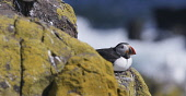 A Puffin sitting on the cliff edge on the Isle of May in the Firth of Forth, Scotland. Chris Lauder / Scottish Viewpoin 2013,horizontal,summer,sunny,sunshine,no people,Scotland,Scottish,UK,U.K,Great,Britain,bird,sea,seabird,puffin,fauna,isle,island,May,Firth,Forth,Fife,rock,cliff
