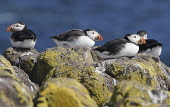 Puffins standing on a rock on the Isle of May in the Firth of Forth, Scotland. Chris Lauder / Scottish Viewpoin 2013,horizontal,summer,sunny,sunshine,no people,Scotland,Scottish,UK,U.K,Great,Britain,birds,sea,seabirds,puffin,fauna,isle,island,May,Firth,Forth,Fife