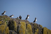Puffins standing on a rock on the Isle of May in the Firth of Forth, Scotland. Chris Lauder / Scottish Viewpoin 2013,horizontal,summer,sunny,sunshine,no people,Scotland,Scottish,UK,U.K,Great,Britain,birds,sea,seabirds,puffins,fauna,isle,island,May,Firth,Forth,Fife