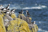 Puffins on a rock on the Isle of May in the Firth of Forth, Scotland. Chris Lauder / Scottish Viewpoin 2013,horizontal,summer,sunny,sunshine,no people,Scotland,Scottish,UK,U.K,Great,Britain,birds,sea,seabirds,puffins,fauna,isle,island,May,Firth,Forth,Fife