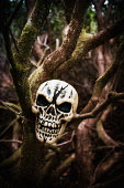 A fake skull lodged in branches in a wood, Highlands of Scotland. Kenny Ferguson / Scottish Viewpo 2014,vertical,winter,no people,nobody,Scotland,Scottish,UK,U.K,Great,Britain,skull,fake,spooky,horror,gothic,evil,Highland,Highlands,scary,halloween,tree,trees,wood,woodland,branches