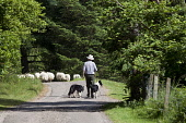 A shepherd with his dogs and sheep on a single track road at Bracara beside Loch Morar, Highlands of Scotland. Iain McLean / Scottish Viewpoint horizontal,day,summer,sunny,sunshine,Highland,Highlands,Lochaber,Bracara,Loch,Morar,Scottish,UK,U.K,Great,Britain,agriculture,livestock,animal,animals,farming,farmer,shepherd,countryside,sheepdogs,dog