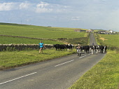 Herding cows along a road, Mainland, Orkney, Scotland. Doug Houghton / Scottish Viewpoi horizontal,outdoors,outside,day,summer,sunny,cows,cow,cattle,farming,animals,beef,domestic,agriculture,livestock,farm,countryside,three people,3,two men,one woman only,herd,herding,Scotland,Scottish,U