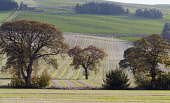 Autumnal trees in the countryside of Angus, Scotland. Allan Wright / Scottish Viewpoin horizontal,outside,outdoors,day,autumn,autumnal,sunny,Angus,Scotland,Scottish,UK,U.K,Great Britain,nobody,trees,countryside,agriculture,arable,field,fields,crop,crops,farm,farming