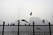 Pigeons on railings by the River Clyde, Glasgow Green on a cold winter's day, east of the city centre of Glasgow, Scotland Tony Clerkson / Scottish Viewpoi horizontal,outside,outdoors,exterior,winter,day,weather,Glasgow,Green,city,fog,foggy,mist,misty,cold,wintry,freezing fog,bleak,austere,atmospheric,Scotland,Scottish,UK,U.K,Great Britain,nobody,pigeons