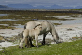 A horse and her foal on the shore on the Isle of Muck, Inner Hebrides, Scotland Allan Wright/ Scottish Viewpoint uk,u.k,Great Britain,GB,G.B,Scotland,Scottish,Inner Hebrides,Muck,Muick,Eigg,Small Isles island,islands,isle,isles,3 people,outdoors,daytime,summer,coast,coastal,coastline,animals,livestock,horse,hors
