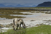 A horse and her foal on the shore on the Isle of Muck, Inner Hebrides, Scotland Allan Wright/ Scottish Viewpoint uk,u.k,Great Britain,GB,G.B,Scotland,Scottish,Inner Hebrides,Muck,Muick,Eigg,Small Isles island,islands,isle,isles,nobody,outdoors,daytime,summer,coast,coastal,coastline,animals,livestock,horse,horses