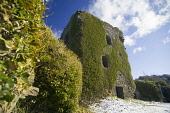 The ivy clad ruins of Dunollie Castle near Oban, Argyll, Scotland. Allan Wright / Scottish Viewpoin horizontal,outdoors,outside,day,winter,sunny,blue sky,Dunollie Castle,Oban,Argyll,Scotland,Scottish,UK,U.K,Great Britain,nobody,snow,snowy,history,heritage,ruin,ruined,ivy clad,building