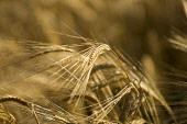 A detail of barley growing in a field, Scotland. John Paul / Scottish Viewpoint horizontal,outside,outdoors,exterior,summer,day,sunny,barley,Scotland,Scottish,UK,U.K,Great Britain,nobody,agriculture,arable,field,crop,farm,farming,countryside,detail